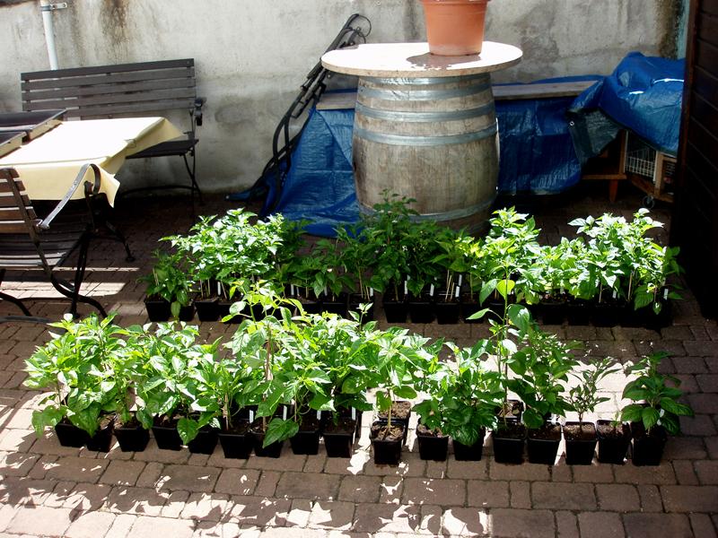 dr manhattan meldet sich auch 2013 wieder mit 148 chili pflanzen zur ck seite 7. Black Bedroom Furniture Sets. Home Design Ideas