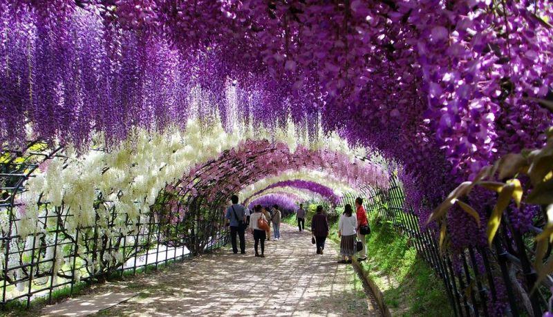 [组图] 多彩的河内藤园 浪漫的紫藤隧道:路人@行者