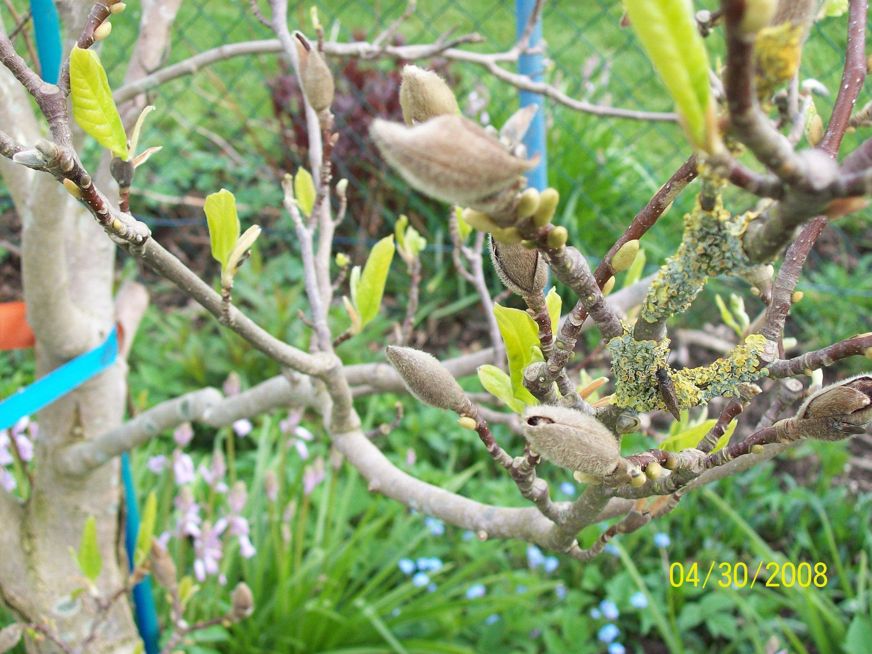 magnolienbaum pflanzenkrankheiten sch dlinge green24. Black Bedroom Furniture Sets. Home Design Ideas