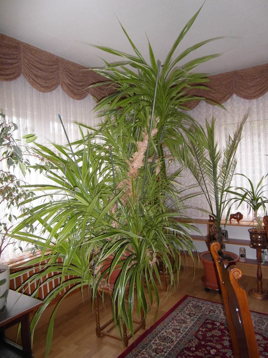 arifs gartenwelt palmen f r drinnen und drau en zimmerpflanzen seite 3. Black Bedroom Furniture Sets. Home Design Ideas