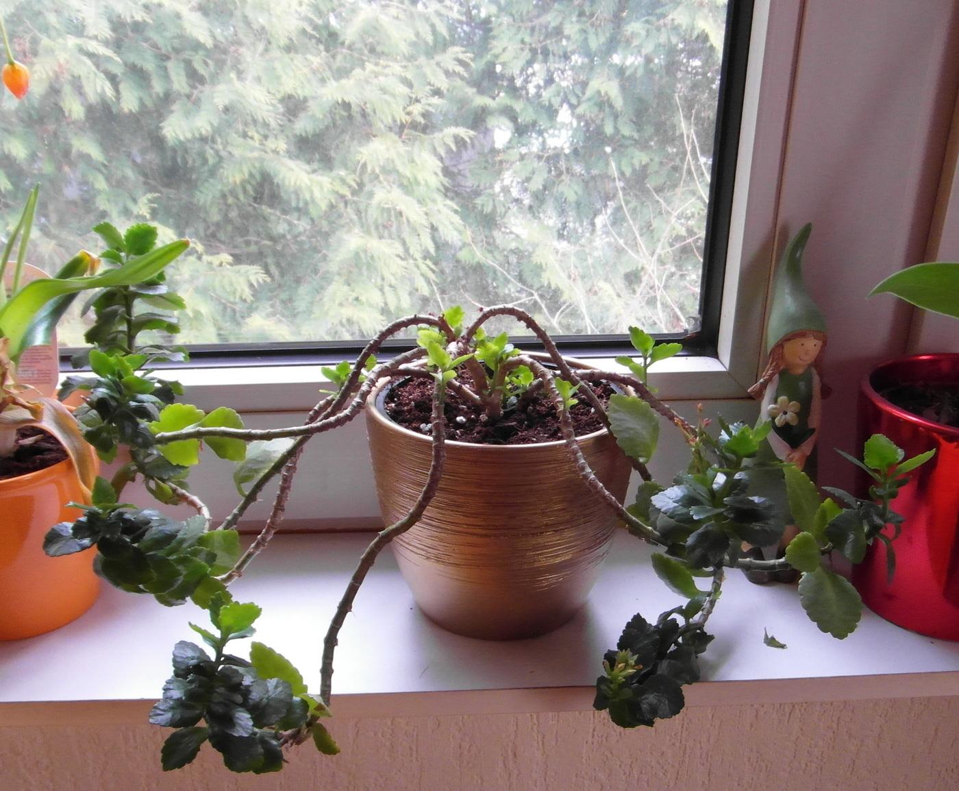 arifs gartenwelt flammendes k thchen zimmerpflanzen. Black Bedroom Furniture Sets. Home Design Ideas