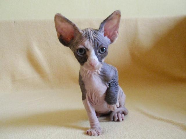 Neues Familienmitglied - Can. Sphynx!