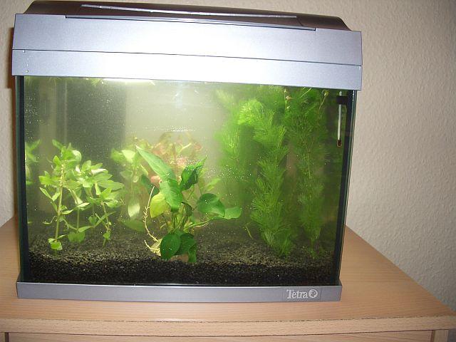 Nochmal kampffisch aquarium forum for Kampffisch becken