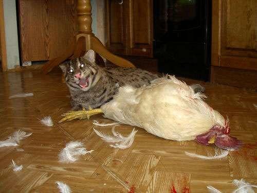 Udomowiony Taraj (Fishing cat) 12