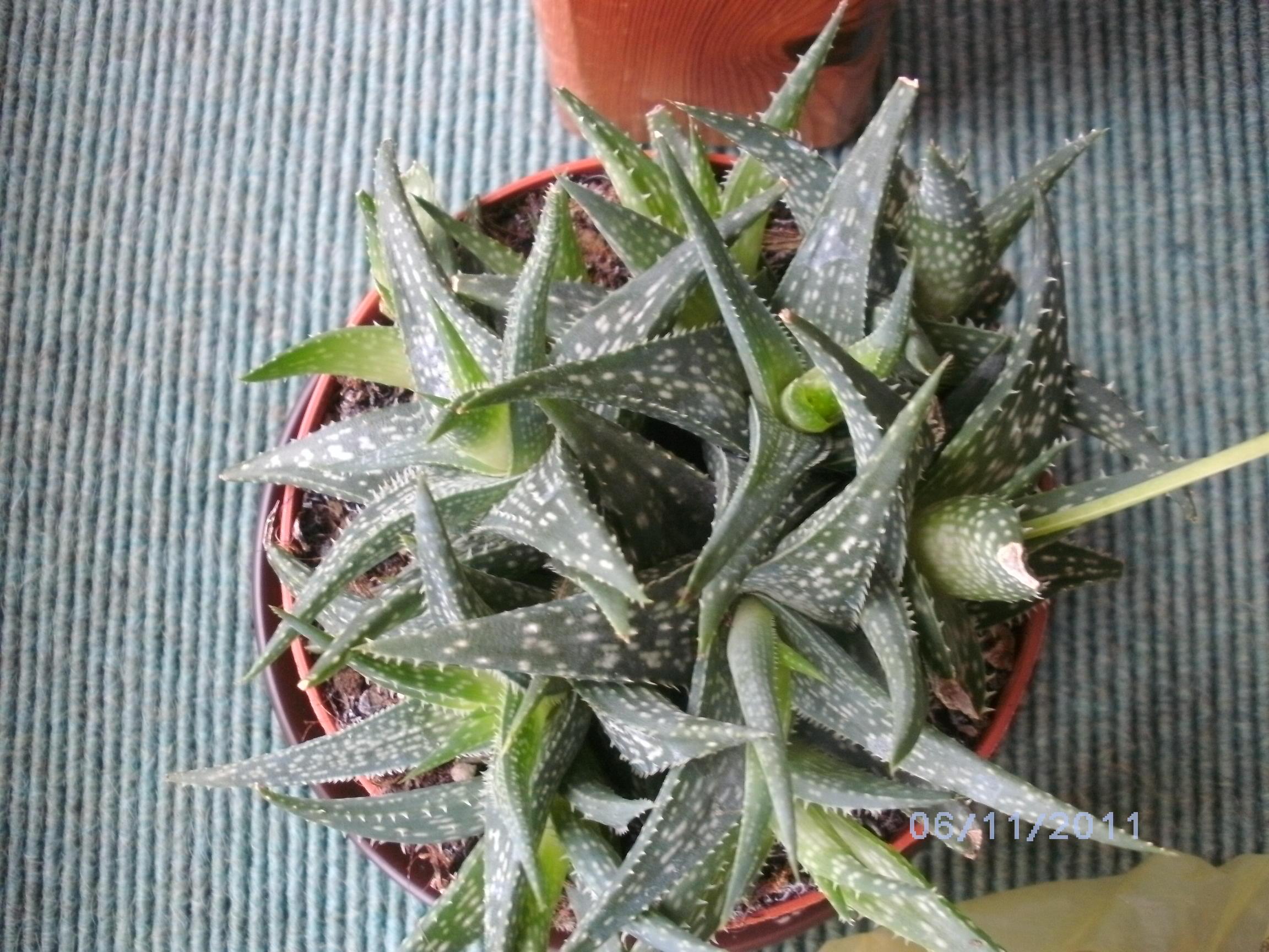bestimmung von sukkulenten kakteen pflanzenbestimmung pflanzensuche green24 hilfe pflege. Black Bedroom Furniture Sets. Home Design Ideas