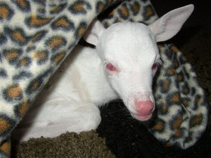 Zwierzęta albinosy #2 11