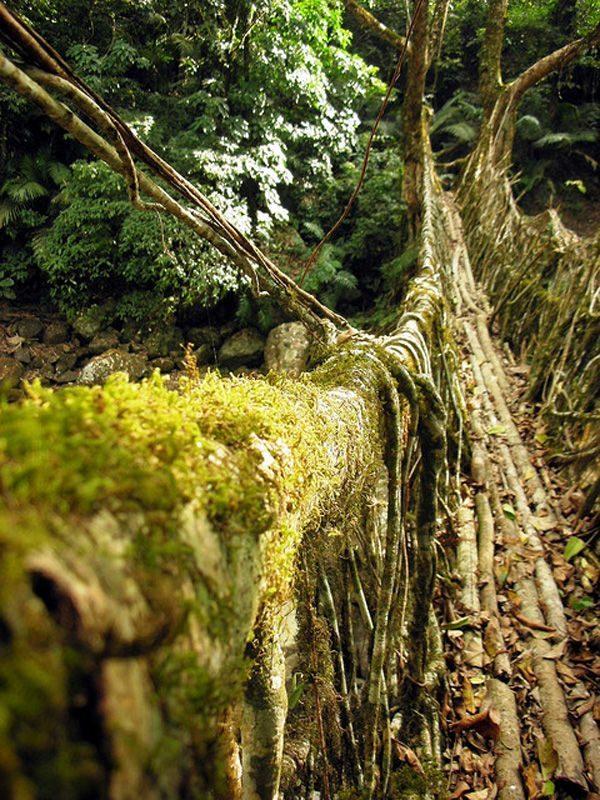 Mosty z korzeni drzew 12