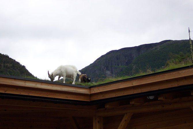 Zielone dachy w Norwegii #2 13