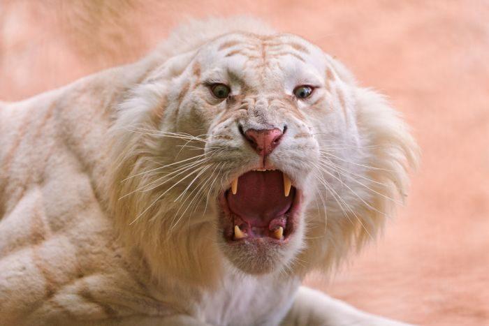 Biały tygrys 2