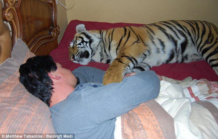 Udomowiony tygrys 17