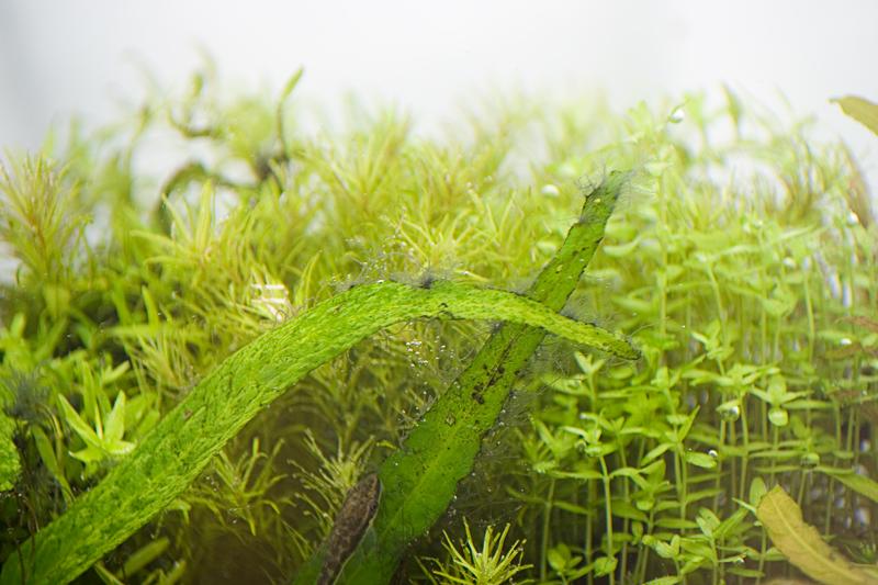algenb schel aber was ist das algen aquascaping aquarium wasserpflanzen flowgrow. Black Bedroom Furniture Sets. Home Design Ideas