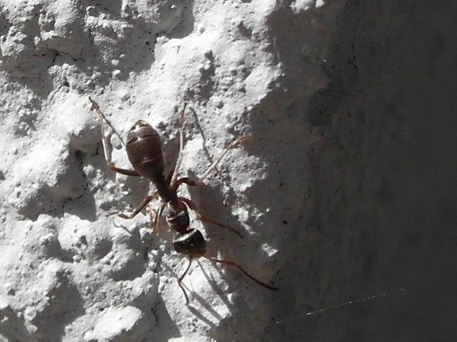 2 ameisenarten in unserem garten bestimmung von ameisen ameisencafe. Black Bedroom Furniture Sets. Home Design Ideas
