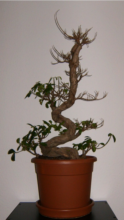 ficus australis ikea 3 fragen gie en schneiden. Black Bedroom Furniture Sets. Home Design Ideas