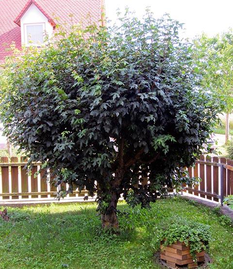 Schnell wachsender busch