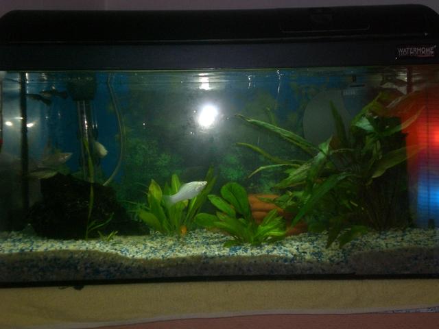 Suche fische die algen usw fressen im forum vom aquaristik for Fische die algen fressen im teich