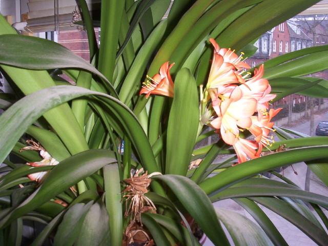 Giftige Zimmerpflanzen klivie giftig zimmerpflanzen meerschweinchen treffpunkt