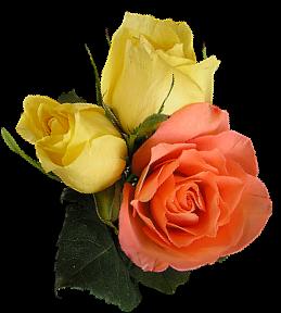 Gül resimler renk renk png güller gül resimleri hareketli gül