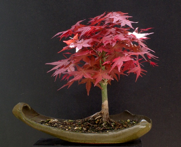 bonsai ratgeber forum aufzucht roter ahorn. Black Bedroom Furniture Sets. Home Design Ideas