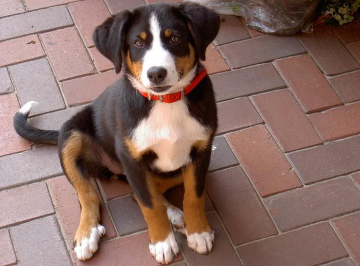 Appenzeller Sennenhund als Welpe und 2jährige | Gegen ...