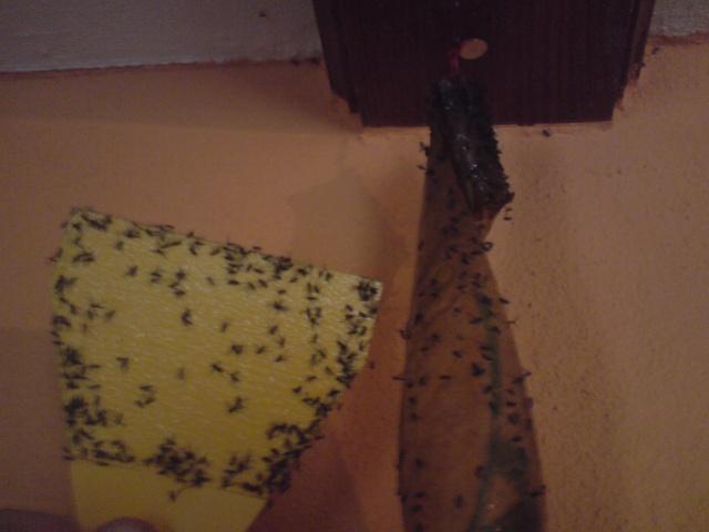 buckelfliege megaselia scalaris seite 2 krankheiten. Black Bedroom Furniture Sets. Home Design Ideas