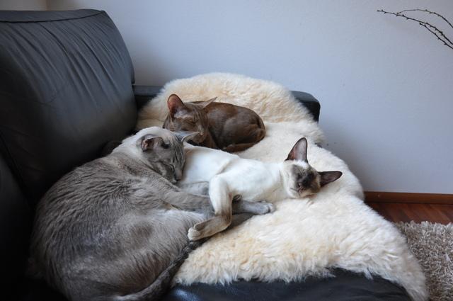 katzenschlafplatz lammfell katzen forum bergkatzen. Black Bedroom Furniture Sets. Home Design Ideas