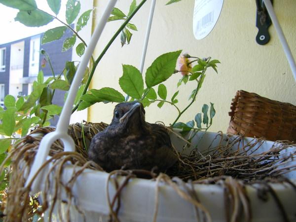 untermieter auf dem balkon mama amsel hat ihr nest bei uns aufgeschlagen. Black Bedroom Furniture Sets. Home Design Ideas