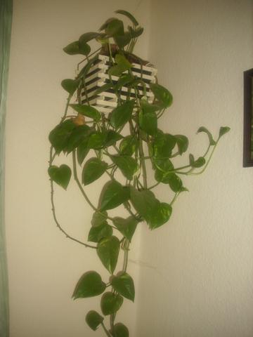 Efeutute schwach giftig zimmerpflanzen - Zimmerpflanzen giftig ...