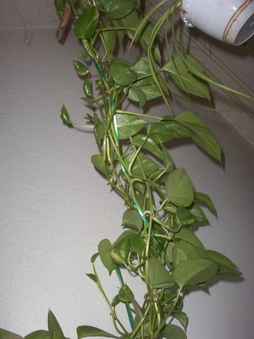 Efeutute schwach giftig zimmerpflanzen meerschweinchen treffpunkt - Zimmerpflanzen giftig ...