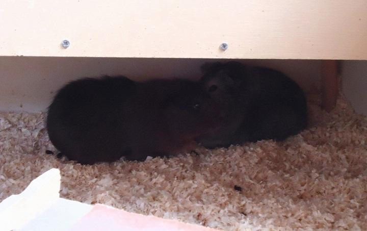 emi seit dem wochenende alleine was soll ich tun meerschweinchen allgemeines. Black Bedroom Furniture Sets. Home Design Ideas