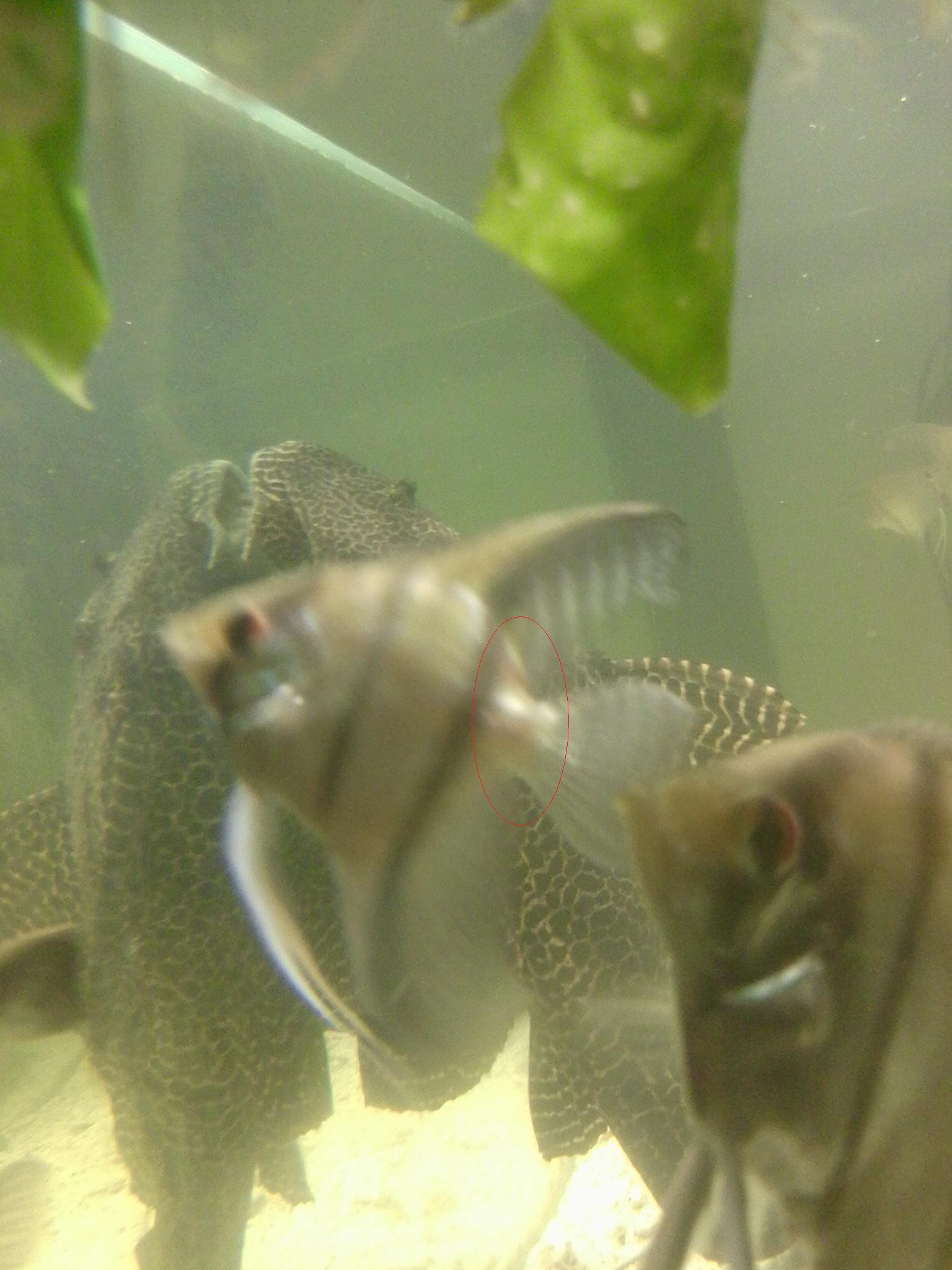 Am kopf hat beule fisch Goldfisch beule