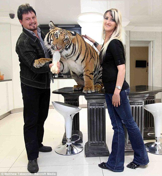 Udomowiony tygrys 14