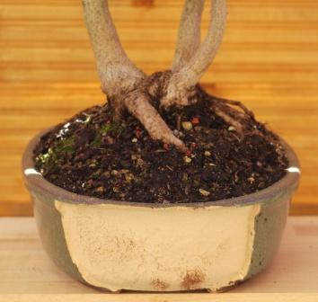 gibt es im forum bonsaifreunde seite 10 garten. Black Bedroom Furniture Sets. Home Design Ideas