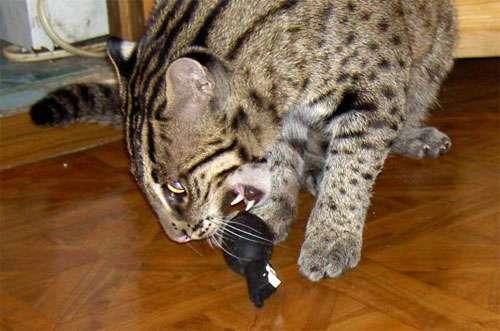 Udomowiony Taraj (Fishing cat) 15