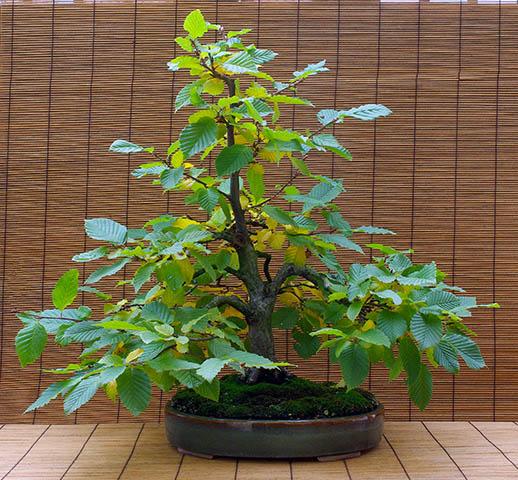 b umchen aus dem wald als bonsai weiterkultivieren. Black Bedroom Furniture Sets. Home Design Ideas