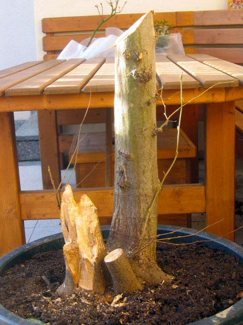 bonsai selber ziehen bonsai selber ziehen mein sch ner garten forum bonsai selber ziehen. Black Bedroom Furniture Sets. Home Design Ideas