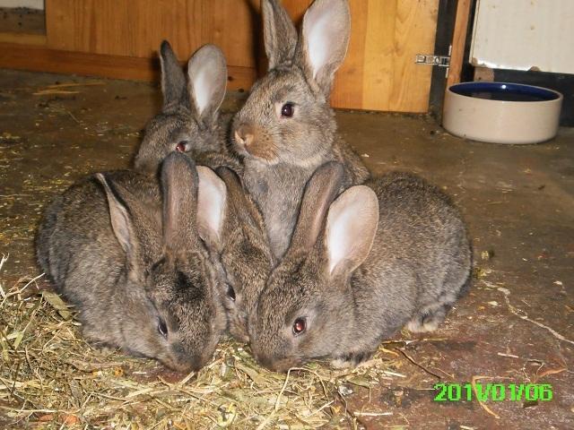 wann werden kaninchenbabys nicht mehr ges ugt kaninchen. Black Bedroom Furniture Sets. Home Design Ideas