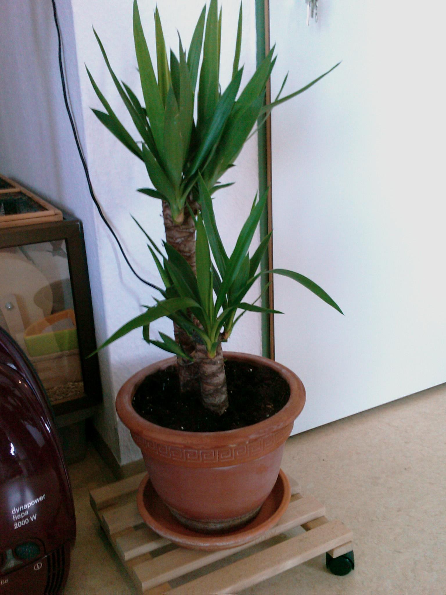 yucca beim umtopfen besch digt pflanzen botanik green24 hilfe pflege bilder. Black Bedroom Furniture Sets. Home Design Ideas