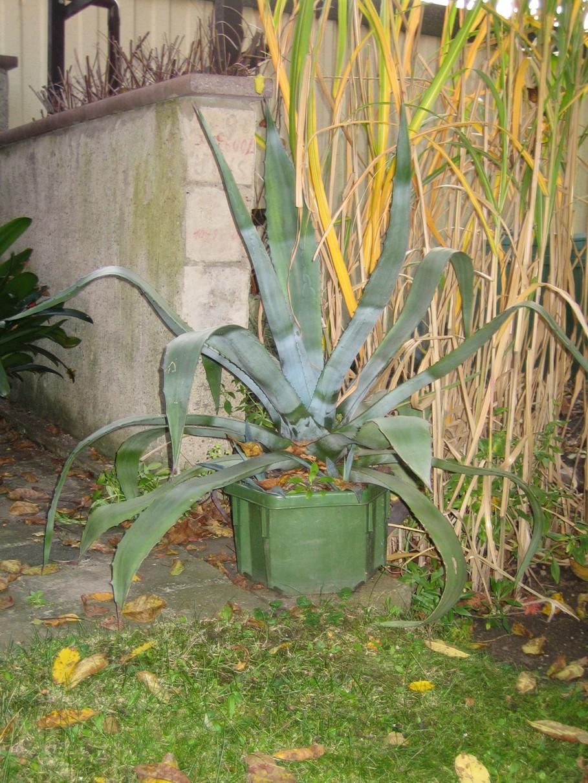 agave berwintern agave americana pflanzen botanik green24 hilfe pflege bilder. Black Bedroom Furniture Sets. Home Design Ideas