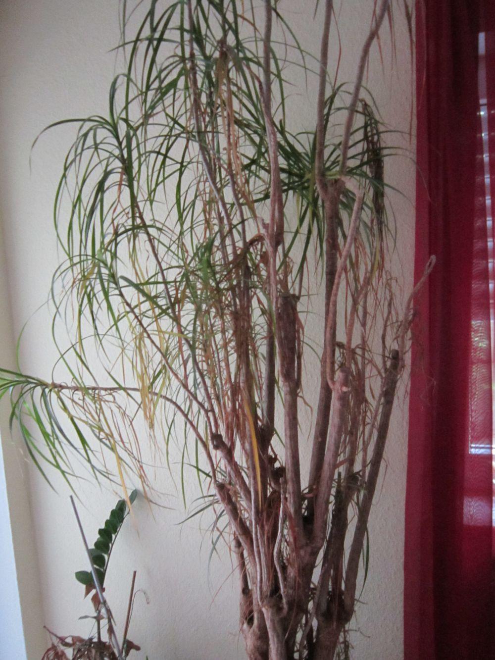 drachenbaum am absterben was tun pflanzenkrankheiten sch dlinge green24 hilfe pflege. Black Bedroom Furniture Sets. Home Design Ideas
