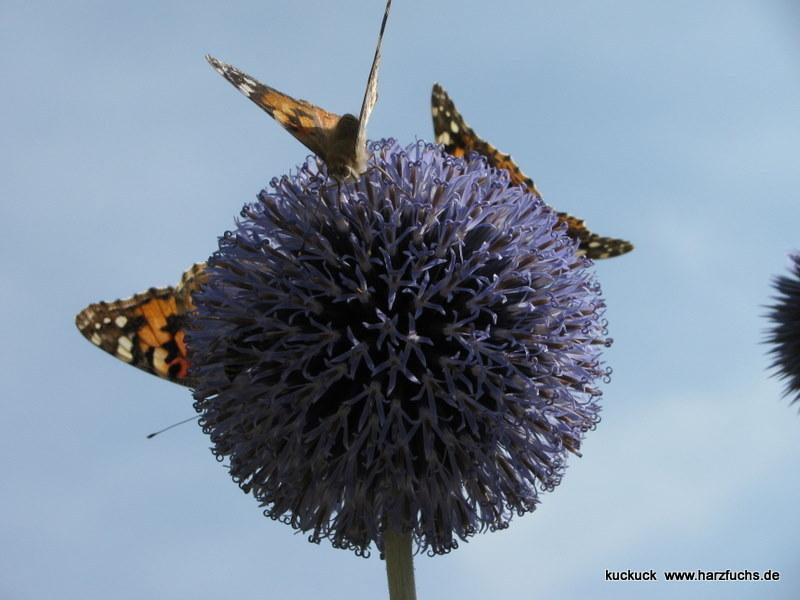 und noch Schmetterlinge.... Img_0888-182gs
