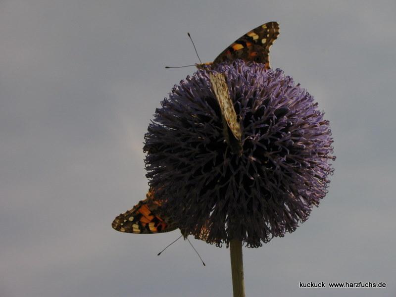 und noch Schmetterlinge.... Img_0893-1o1r8