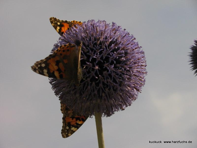 und noch Schmetterlinge.... Img_0895-1n063