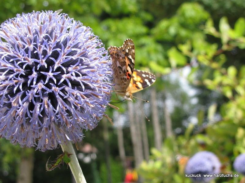 und noch Schmetterlinge.... Img_0898-105rd