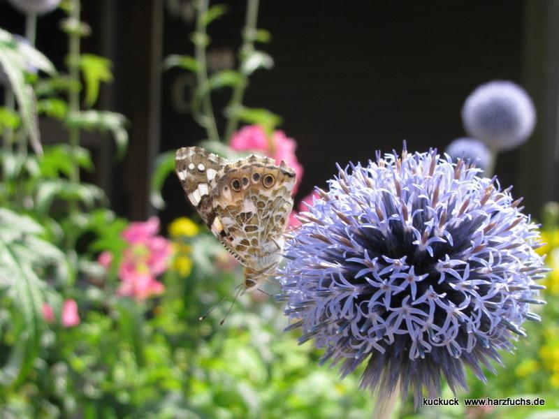 und noch Schmetterlinge.... Img_0900-1y6dx