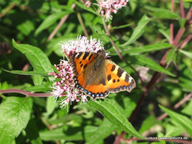 und noch Schmetterlinge.... Img_0982-19qui