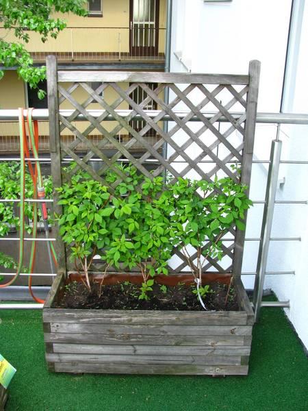 himbeeren pflanzen balkon himbeeren auf dem balkon anpflanzen so klappt es himbeeren kiwi auf. Black Bedroom Furniture Sets. Home Design Ideas