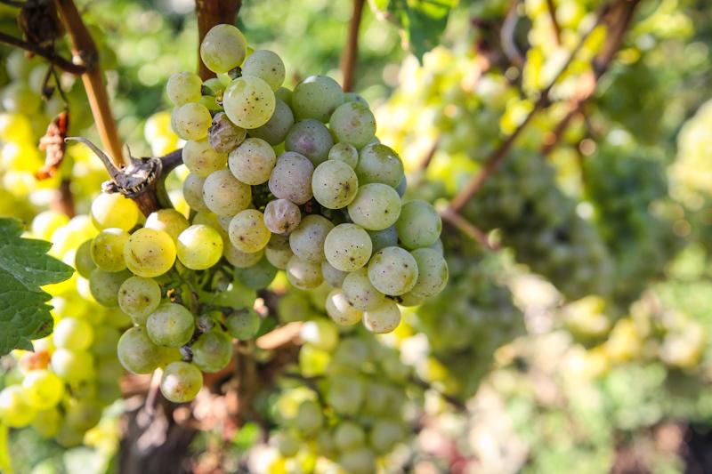 Weintrauben in Hochheim