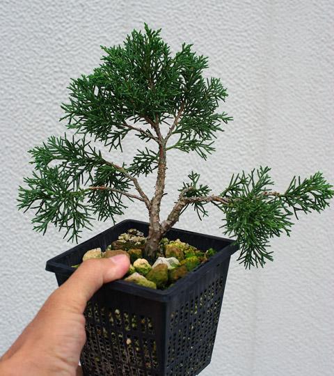 bonsai ratgeber forum bonsai bestimmung wacholder. Black Bedroom Furniture Sets. Home Design Ideas