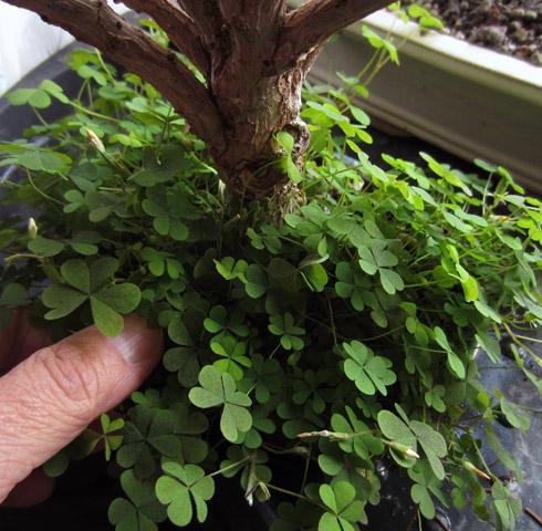 jadebaum bonsai kleeblattartiges gew chs sprie t aus. Black Bedroom Furniture Sets. Home Design Ideas