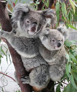 Odrasla koala duzine j...